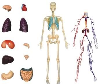 Emberi anatómia - test - Anatómiai modell