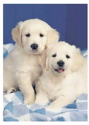 Ravensburger 500 pieces retriever puppies  - Puzzle
